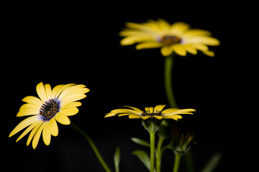 Photo of African Daisy , www.akidsphoto.com